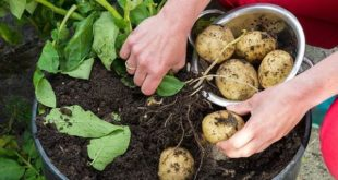 Growing Potatoes in Containers (Pic source www.telegraph.co.uk).