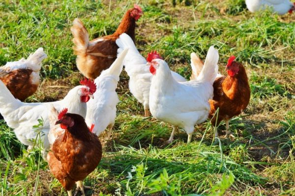 Free-Range Chicken Breed For Meat.