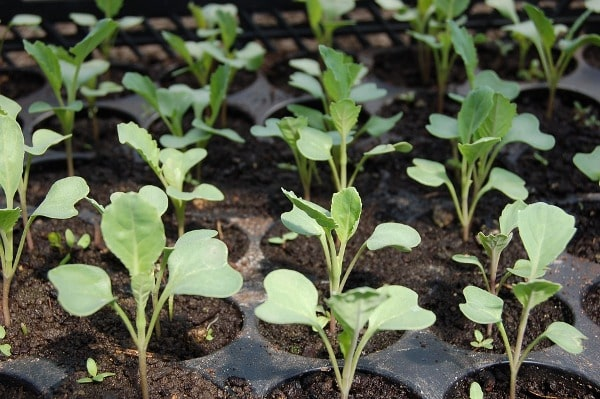 Cabbage Seedlings for Transplanting.
