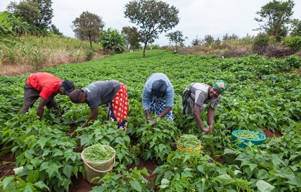Subsistence Farming (Pic Source by Independent Newspapers Nigeria).