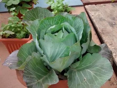 Winter Care for Growing Cabbage In Containers.