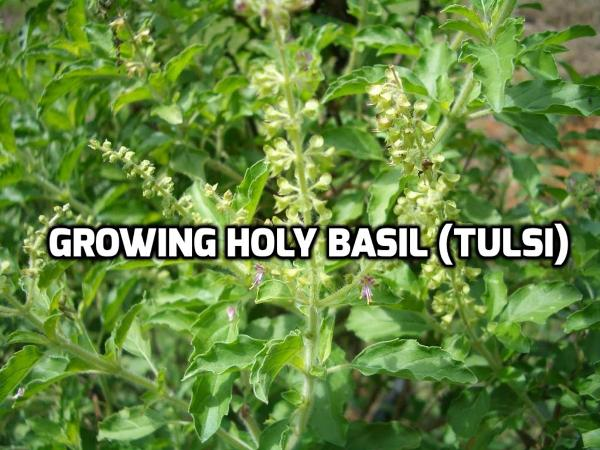 Growing Holy Basil (Tulsi).