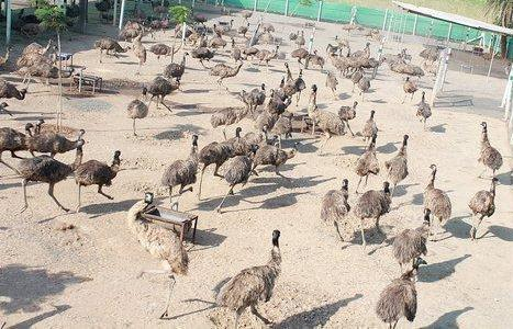 Commercial Emu Bird Farming Business.