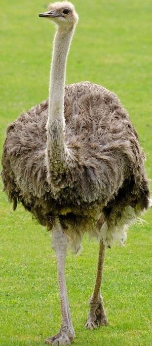 Emu Bird.