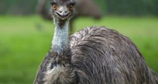 Raising Emu Birds.