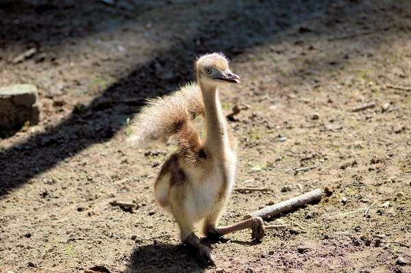 Emu Bird Chick.