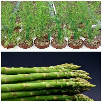 Growing Asparagus In Pots.