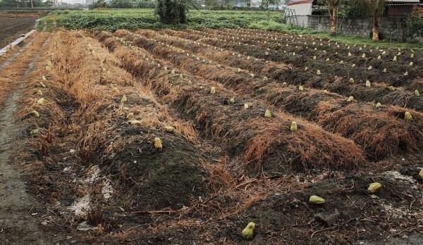 Chayote Squash Growing Field.