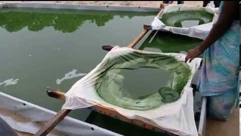 Groiwng Conditions For Spirulina.