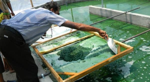 Spirulina Farming (Pic Source: orchidsasia.com).