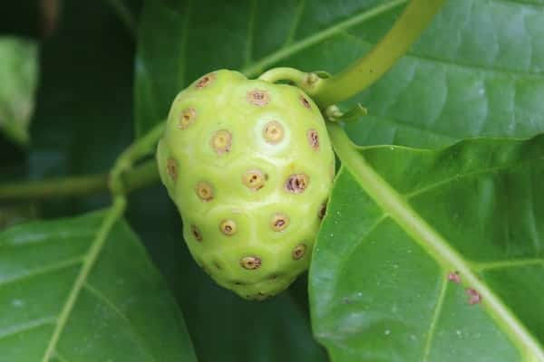 Growing Noni Fruit.