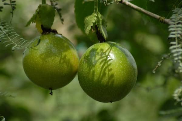 Intercultural Operations in Growing Passion Fruits.