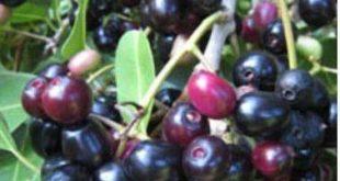 Jamun Cultivation.