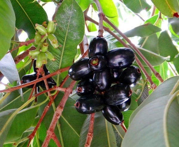 Jamun Tree Growing Practices.