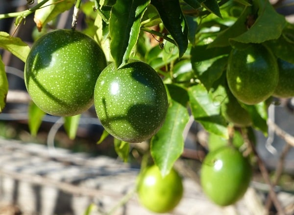 Passion Fruit Cultivation.