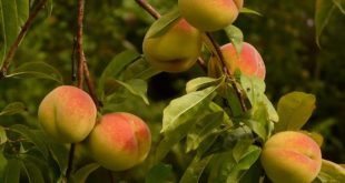 Peach fruit cultivation.