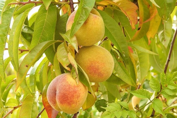 Peach Fruit Growing Conditions.