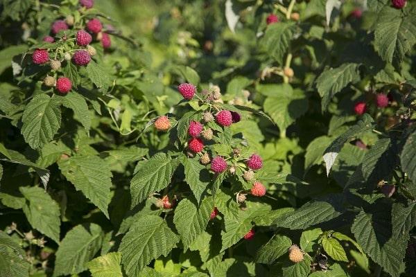 Raspberry Yield.