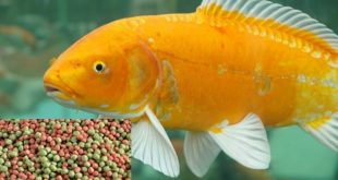 Goldfish Food.