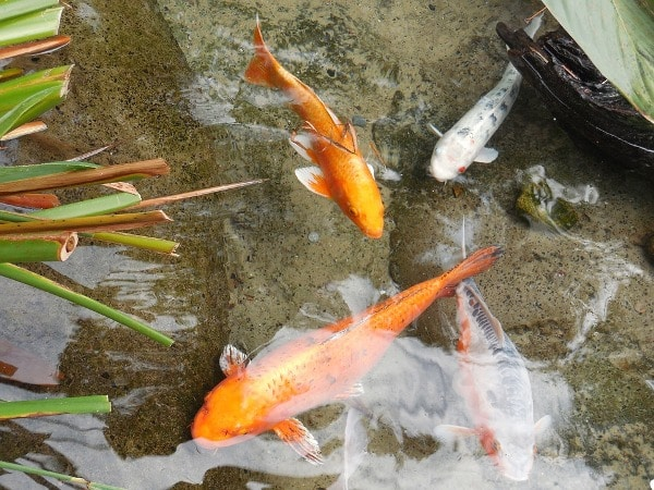 Goldfish in the Pond.
