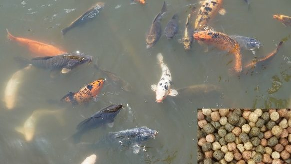 Koi Fish Food.