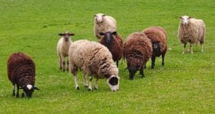 Sheep Farming In Bangladesh.