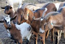 Goat Farming Plan in India.