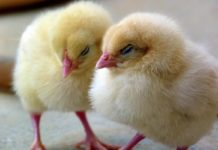 Poultry Farming Subsidy and Loan in India.