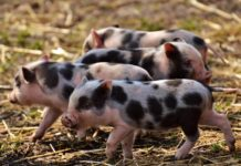 Pig Farming Subsidy and Loan.