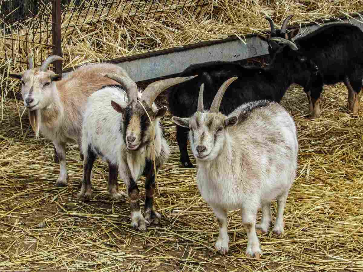Costs Involved in Goat Farming.