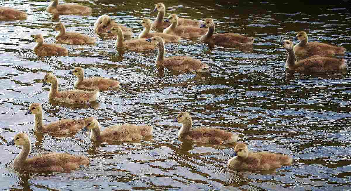 Cost of Duck Farming Business in India.