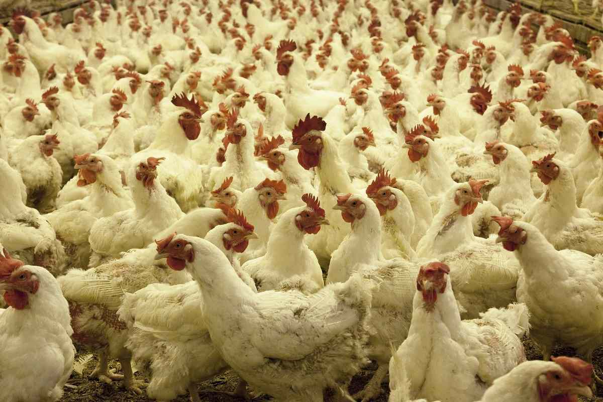 Advantages of Poultry Farming.