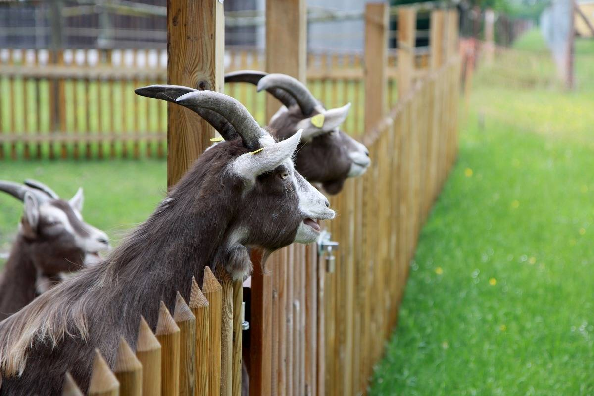 Importance of Goat Farming.