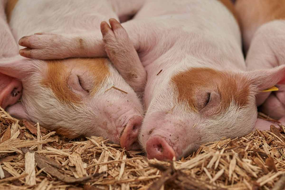 Commercial Pig Farm Loans in India.