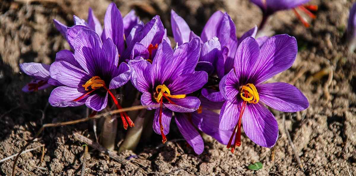Cultivation Costs of Saffron Spice.